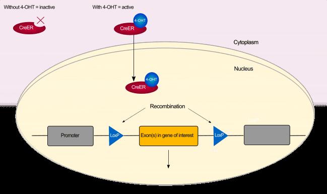 (E,Z)-4-Hydroxytamoxifen - LKT Labs
